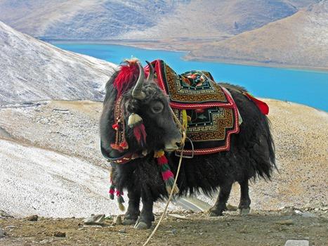 Yak Himalaya