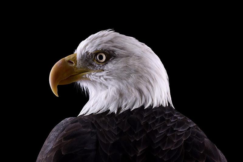 animal-photography-affinity-Brad-Wilson-bald-eagle.jpeg