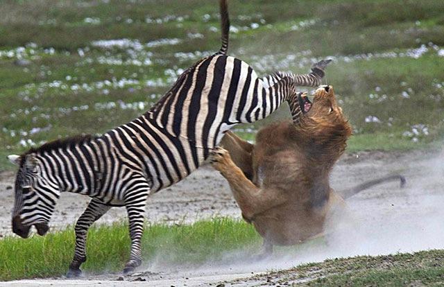 [zebra-fighting-lion%255B3%255D.jpg]
