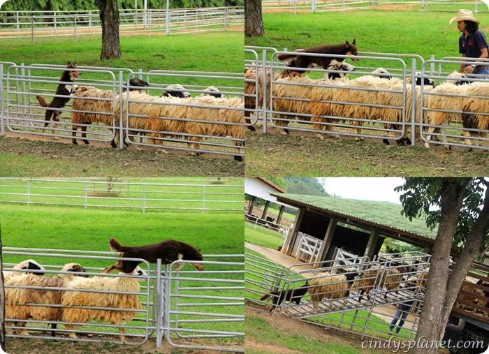 chok chai farm kelpie dog & sheep
