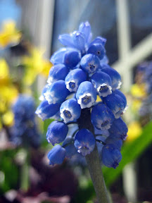 Muscari latifolium or related species of blue flower