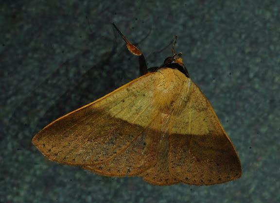 Noctuidae : Catocalinae : Ophyx ochroptera GUENÉE, 1852. Umina Beach (NSW, Australie), 17 octobre 2011. Photo : Barbara Kedzierski