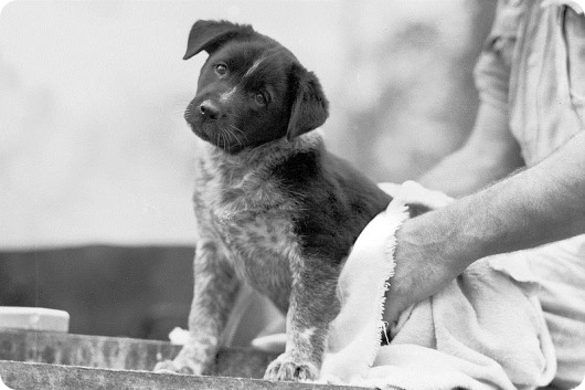 800px-Australian_Cattle_Dog_puppy_mascot