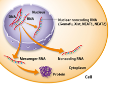 RNA occrs in the nucleus as well as in the cytoplasm of the cell