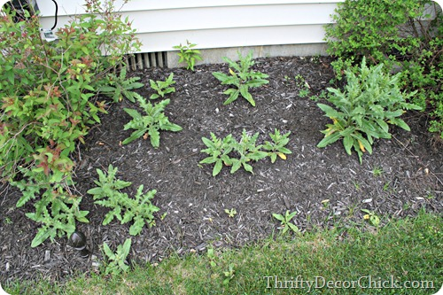 getting rid of prickly weeds