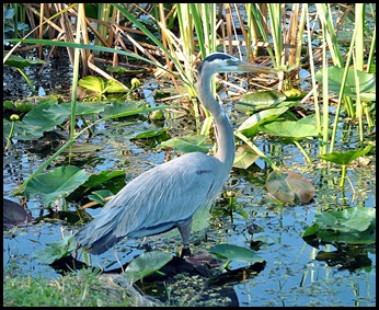 02 - Great Blue Heron