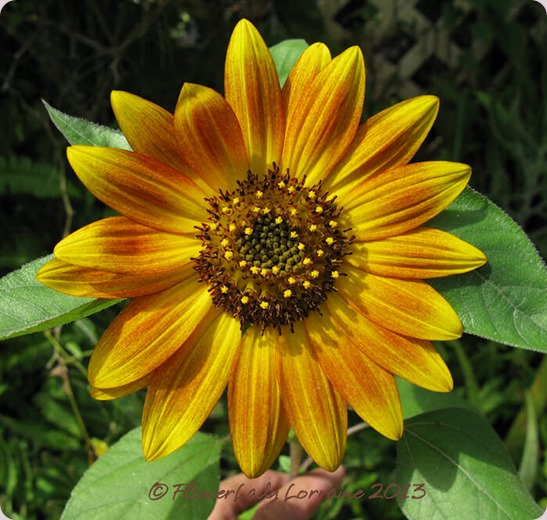 06-09-sunflower2