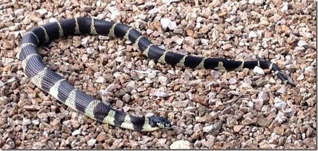 Kingsnake with rattler inside 9-21-2014 7-04-17 AM 630x297