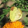 Three Spot Grass-yellow