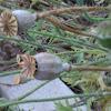 Poppy seedpod