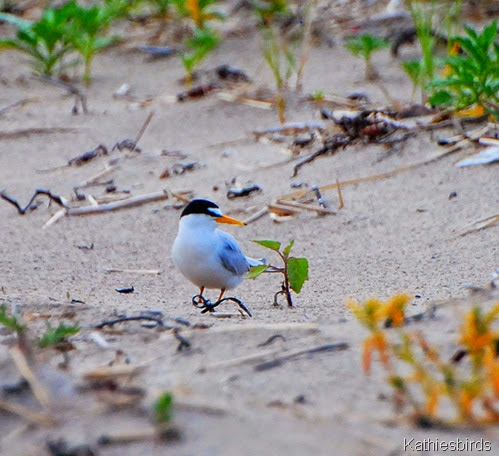 18. least tern on beach-kab