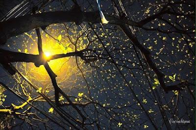 Những cây bàng đêm của Hà Nội 3