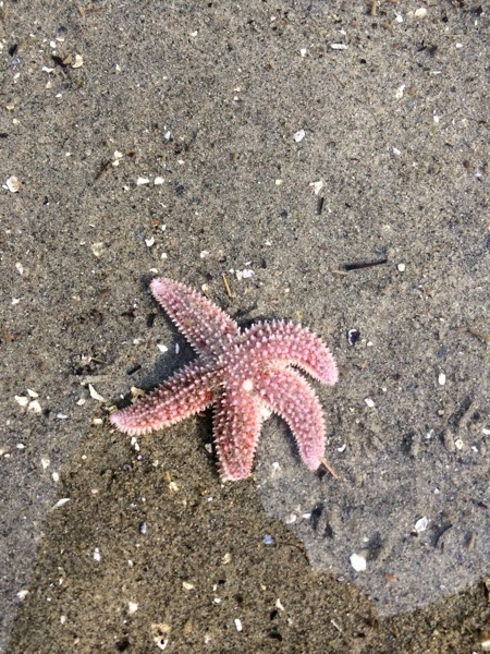 Healthy Starfish near Belfast, Maine
