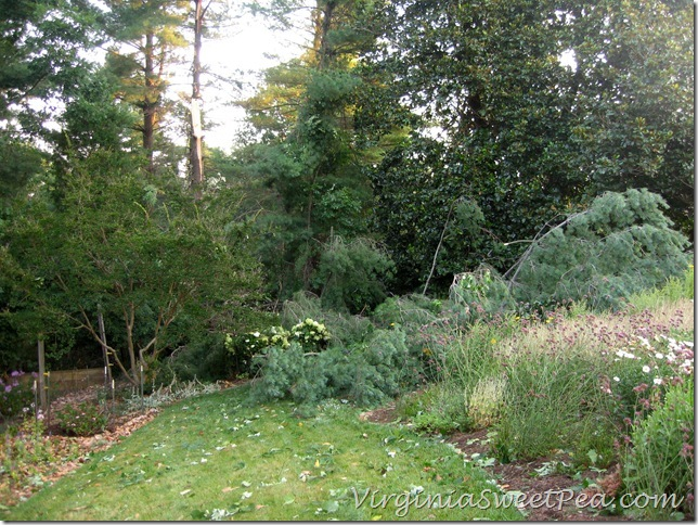 Pine on Big Flowerbed1