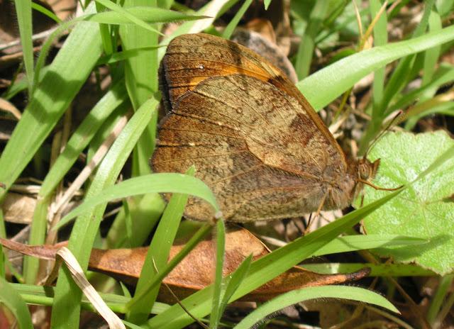 Heteronympha mirifica BUTLER, 1866, mâle. Gerringong (NSW), 14 décembre 2008. Photo : J. Michel