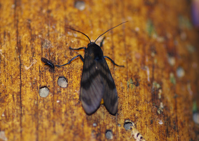 Arctiidae : Thysanoprymna cepiana DRUCE, 1893. Los Cedros, 1400 m, Montagnes de Toisan, Cordillère de La Plata (Imbabura, Équateur), 18 novembre 2013. Photo : J.-M. Gayman