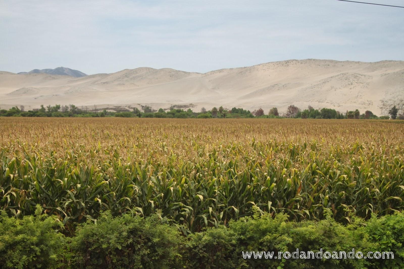 un río y plantaron maíz