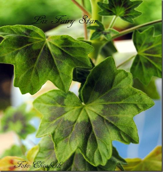 Pelargonium juli -11 069