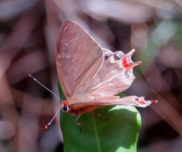 Riodinidae : Saribia tepahi BOISDUVAL, 1833, endémique. Saha Forest Camp, Anjozorobe (Madagascar), 2 janvier 2014. Photo : T. Laugier