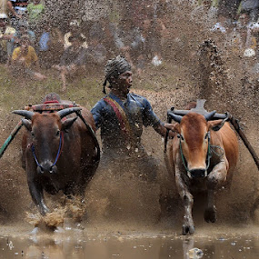 Mud Dance With the Bulls by Achmad Tibyani - Sports & Fitness Other Sports ( indonesia, the pacu jawi )