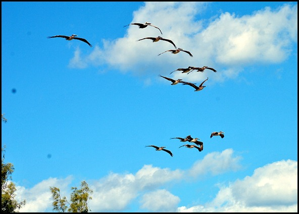 5b3 - Tour - First Beach Access - Pelicans in the sky
