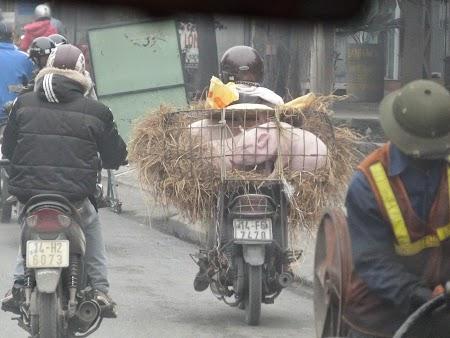 01. Porc pe motocicleta.JPG