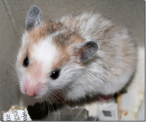 hamster grande imagen (18)