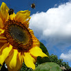 Sunflower revolution-Sarah O Connor.JPG
