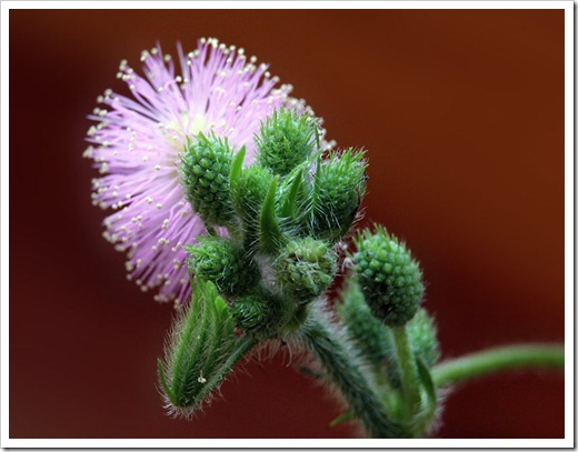 110929_Mimosa-pudica_03