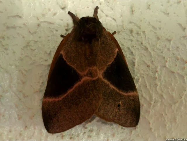 Hemileucinae : Dirphia curitiba DRAUDT, 1930. Environs de Curitiba (Paraná), 28 janvier 2014. Photo : Mauricio Skrock