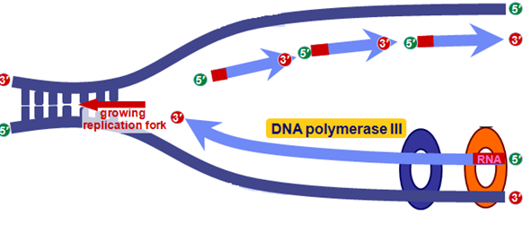 DNA replication leading and lagging strand