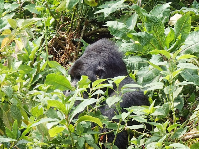 Gorilla Tracking 016.JPG