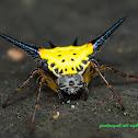 Hasselt's spiny spider