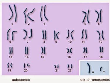 autosomes vs sex chromosomes