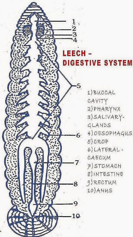 hirudinaria digestive system biozoom hirudinaria digestive system