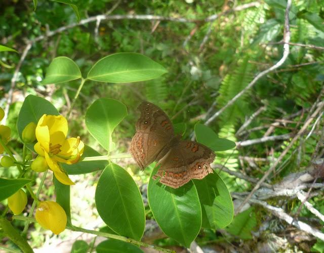 Junonia goudoti (BOISDUVAL, 1833), endémique. Saha Forest Camp, Anjozorobe (Madagascar). 3 janvier 2014. Photo : J. Marquet