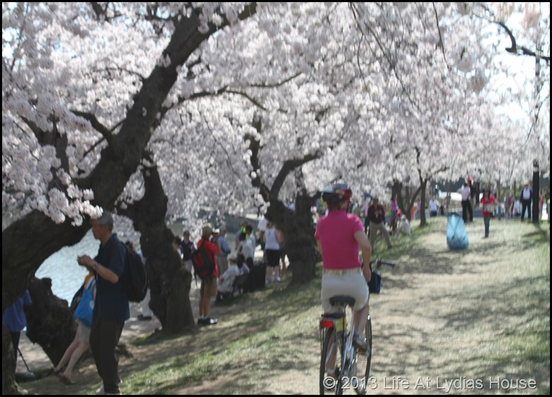 cherry blossoms 10
