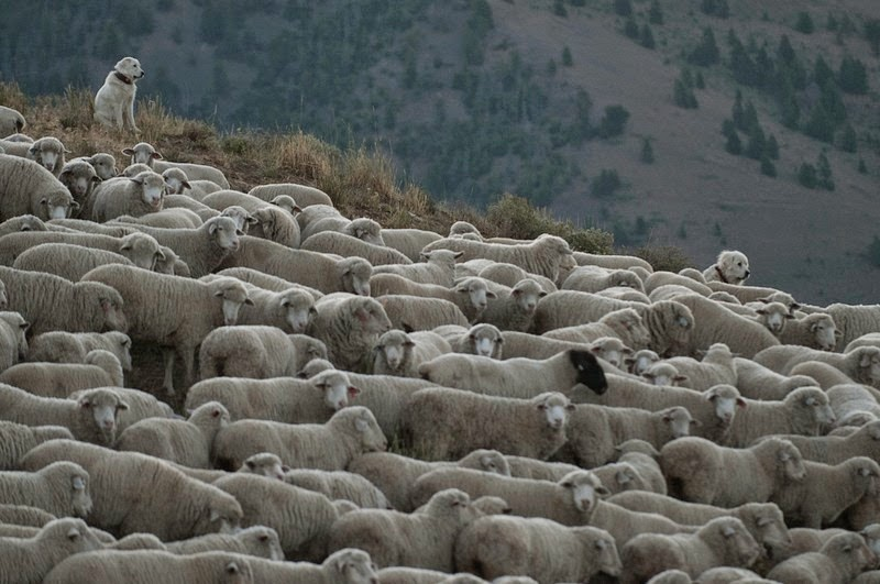 trailing-of-the-sheep-5
