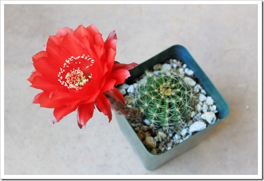 130519_Echinopsis-Johnson-hybrid-red_05