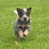 Dog Puzzle:  Cattle Dog
