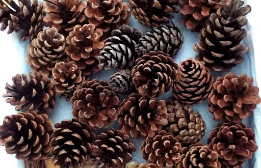 City girl gone coastal: How To Clean & Dry Pinecones For Crafts ...