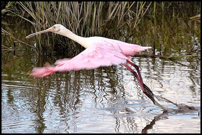 Birds - Spoonbill flying