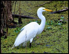 06c - Great Egret