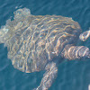 Galápagos green turtle