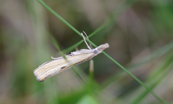 Crambidae : Crambinae : Crambus perlella (SCOPOLI, 1763) (?). Les Hautes-Lisières (Rouvres, 28), 23 août 2012. Photo : J.-M. Gayman