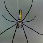 Female Giant Wood Spider