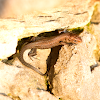 Young viviparous lizard