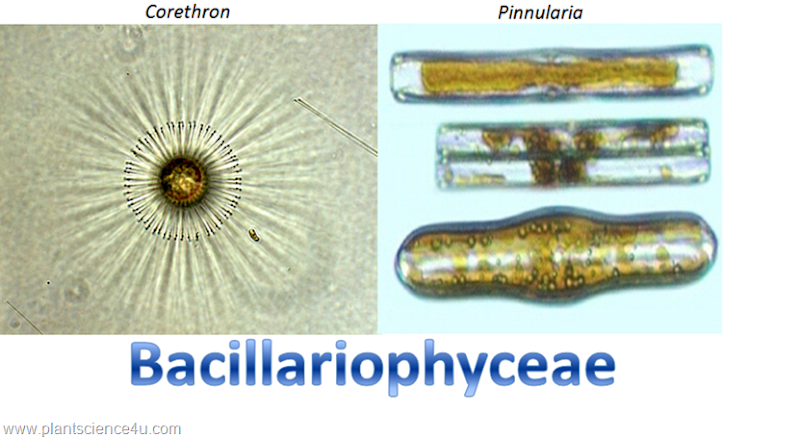 Example of Diatoms