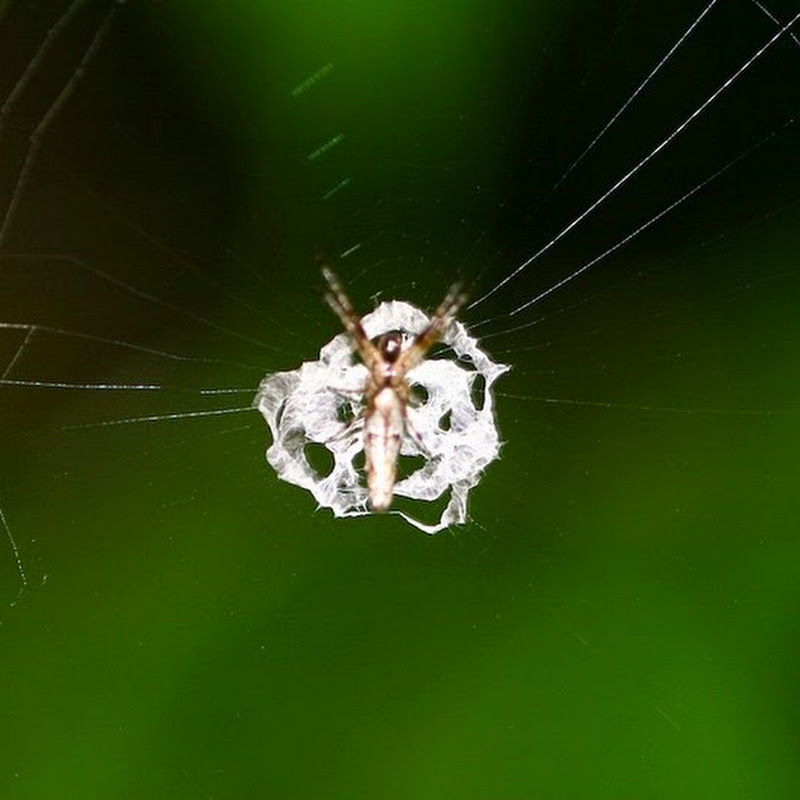 The Spider That Camouflages Itself as Bird Droppings