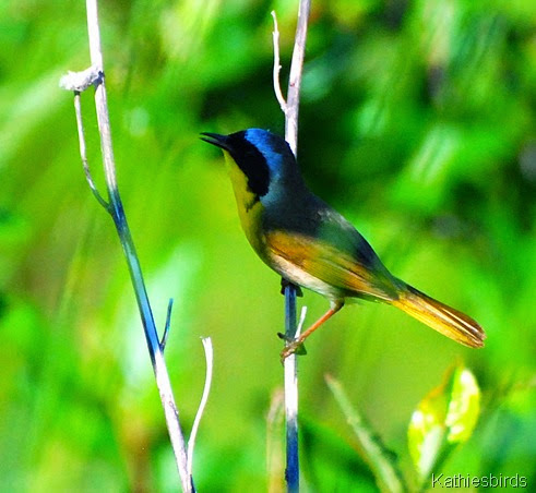 9. singing yellowthroat-kab